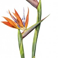 Bird of Paradise, a painting by Lynne Henderson