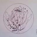 Protea, a drawing by Megan Coetzee